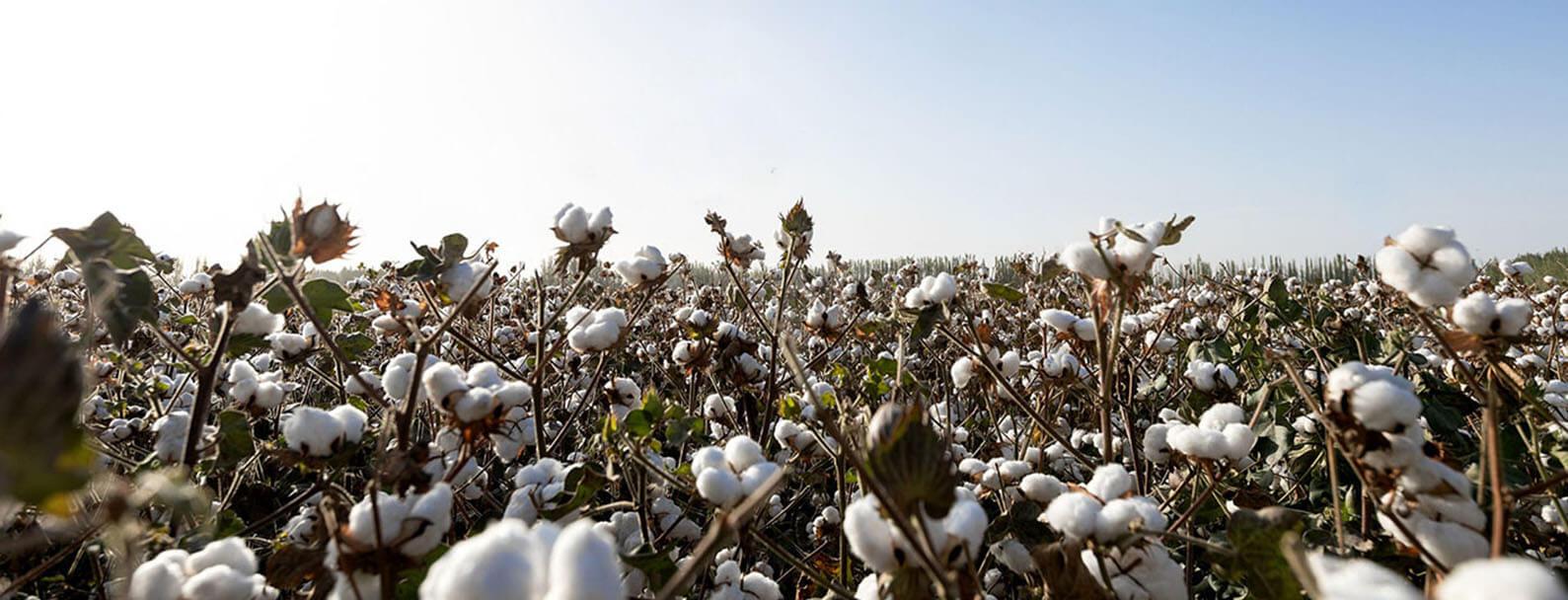 organic-cotton-field
